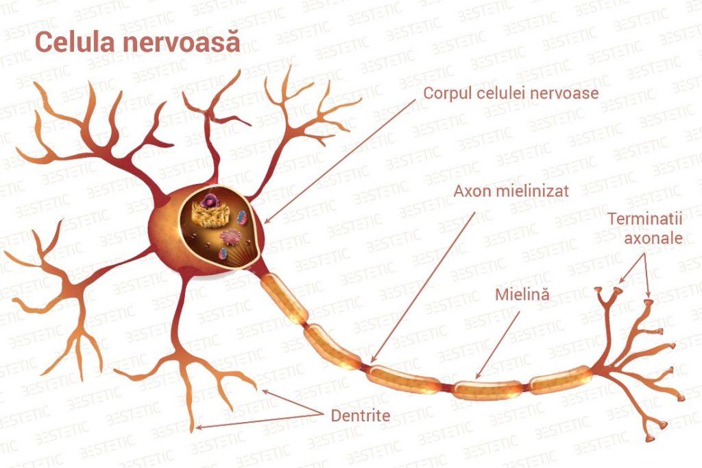 Nerv si celula nervoasa